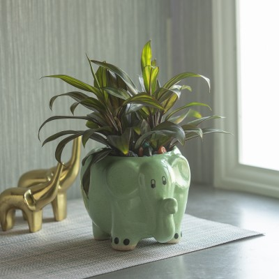 Baby Doll Plant in a Ceramic Elephant pot